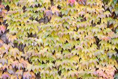 Wall covered with parthenocissus Stock Images