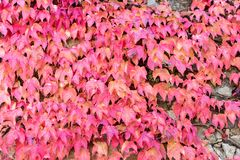 Wall covered with parthenocissus Stock Image