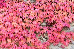 Wall covered with parthenocissus Stock Photos