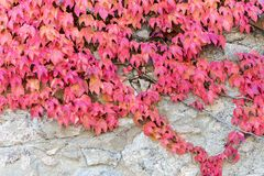 Wall covered with parthenocissus Royalty Free Stock Image