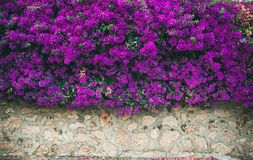 Wall covered with purple Bougainvillea Royalty Free Stock Photo
