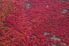Red autumnal vine stock images