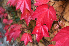 Wall covered with red ivy leafs. (Parthenocissus tricuspidata Veitchii Stock Photo
