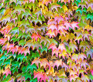 Wall covered with red ivy leafs Royalty Free Stock Image