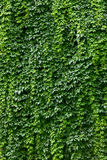 Wall covered with vines Stock Image