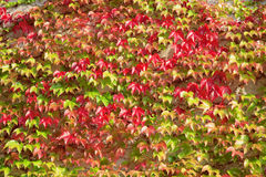 Wall covered with wine leaves Stock Photography