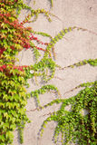 Wall covered with wine leaves Stock Images