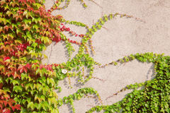 Wall covered with wine leaves Stock Photos