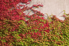 Wall covered with wine leaves Royalty Free Stock Image