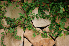 Wall covering the leaves. Background of wall covering the leaves Royalty Free Stock Image