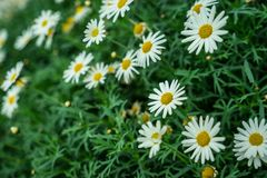 Wall of Daisies stock images