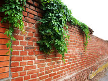 Wall decorated with ivy. Stone wall of the old brick, decorated with green leaves of ivy stock images