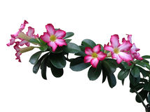 Wall  Desert Rose on white background Royalty Free Stock Images
