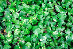 Wall of Devil's ivy leaves. Stock Photo