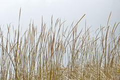 Wall of Dry Grass by a Lake Royalty Free Stock Photos