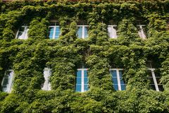 Wall Enlaced With Ivy In Summer Sunny Day. Building Enlaced With Stock Photography