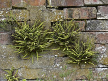 Wall ferns. Old rock wall with moss and ferns Stock Photography