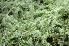 Wall of Ferns. Bright green ferns form a textured wall within the canopy of a forest Stock Image