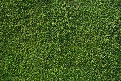 Wall of Ficus Leaves Royalty Free Stock Image