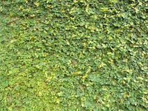 Wall of Ficus pumila Royalty Free Stock Images