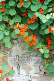 Wall flower. Is hanging on the wall the cane class plant, is blooming the red flower Royalty Free Stock Photos