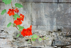 Wall flower. Is hanging on the wall the cane class plant, is blooming the red flower Stock Photo