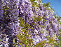 The wall with flowering Wisteria in Turkey. The wall with flowering Wisteria in March in Alanya in southern Turkey Royalty Free Stock Image