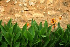 Wall Flowers. Green leaved plants against a sand stone wall royalty free stock photo