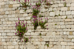 Wall with flowers. Flowers coming out of the cracked brick wall Royalty Free Stock Image