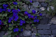 Wall with flowers. Wall with beautiful flowers purple Royalty Free Stock Photo
