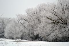 Wall of frost covered trees. Beautiful winter photo, a row of trees wearing winter coats of frost stock image