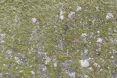Wall full of green moss Stock Image