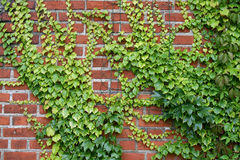 Wall with the grapes Stock Image