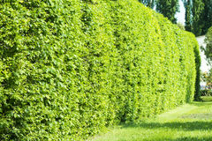 Wall of green bushes. In the park sunny day Stock Photo