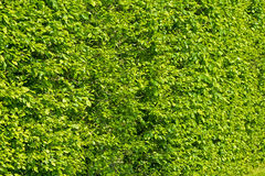 Wall of green bushes. In the park sunny day Royalty Free Stock Photography