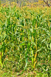 Wall of Green Corn field Royalty Free Stock Photos