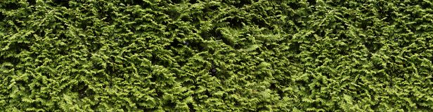 Thuja Occidentalis Brabant an excellent plant for hedges. A wall of green, hedge with thuja. royalty free stock image
