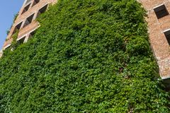 A wall of green ivy that covers an unfinished brick house. royalty free stock photos