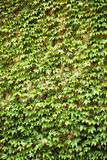 Wall with green ivy leaves royalty free stock images