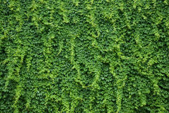 Wall with green ivy leaves. Ivy plant covering a wall with luscious green leaves