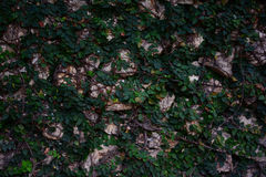 Wall green leaf and rock background. Beautiful wall green leaf and rock background Stock Photos