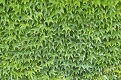 Wall of green leafs Royalty Free Stock Images