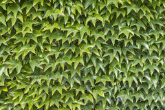 Wall of green leafs Stock Photography