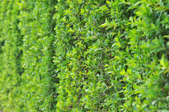 Wall of Green Leaves. A narrow view of a wall filled with green leaves Stock Image