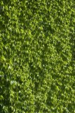 Wall of green leaves Stock Photography