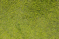 Wall of green leaves. A wall full of green leaves Stock Image