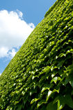 Wall of Green Leaves Stock Images