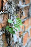 Wall and green leaves Royalty Free Stock Photos