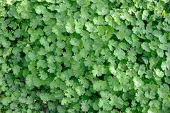 Wall of Green Leaves. A close up background of plants green leaves Royalty Free Stock Photography