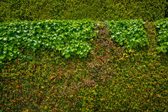 Wall of green leaves Stock Image